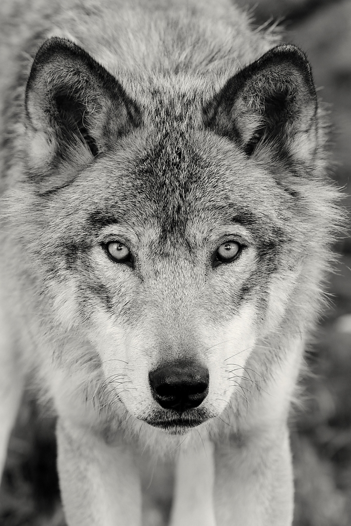 wolf_ggob